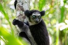 Bu görsel boş bir alt niteliğe sahip; dosya adı Indri.jpg