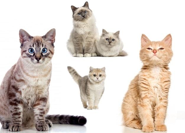 Dünyadaki Kedi türleri ve isimleri