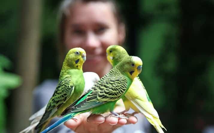 Muhabbet Kuşlarının Bakımı, Beslenmesi ve Üretimi